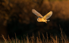 Barn Owl (peterchristian820) Tags: tytoalba barnowl