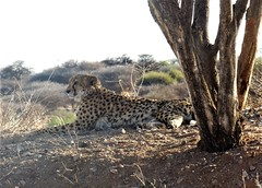 Namibia's Beauty:  Cheetah of Okonjima (ronmcbride66) Tags: namibia namibiasbeuty okonjimaplains okonjima cheetah cheetahtracking tree bush scrub africa wildlife bigcat