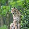 Le lynx (Pluie du matin) Tags: hatman animal animaux lynx wild félins felidae squared carré