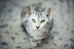 Cat's eyes (josemanuelerre) Tags: cat eyes green animal minimal photograph blur face cute beauty scene portrait look direct scary ears nose paws street outdoors grey floor cenital friend feline tiger panther savage free pose stay quiet alone popart domestic intense tame calm