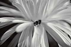 Hey! SW (Jens III) Tags: sonyalpha6000 schwarzweis sw flickr flower makro macro macrodreams blossom blume blackandwhite dreamy amateur nature natur