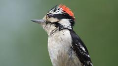 Punk Woodpecker (blazer8696) Tags: 2018 brookfield ct connecticut ecw obtusehill t2018 tabledeck usa unitedstates bird downy downywoodpecker dowo img4440 picidae piciformes picoides picoidespubescens picpub pubescens woodpecker