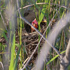 Red-winged Blackbird chick (TomLamb47) Tags: nature wildlife bird rwbl redwinged blackbird chick nest marsh wetlands fruitland park florida fl canon 1d4 100400mm