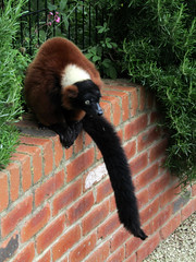 Red Ruffed Lemur - Tropical Butterfly House Wildlife And Falconry Centre 2018 (Dave_Johnson) Tags: tropicalbutterflyhousewildlifeandfalconrycentre tropicalbutterflyhouse wildlifepark park centre butterflyhouse anston northanston sheffield southyorkshire animal animals lemur lemurs redruffedlemur