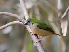 Pin-tailed Parrotfinch (f) ☺☺☺ (mahi mahi 163) Tags: parrotfinch finch 80400mm china