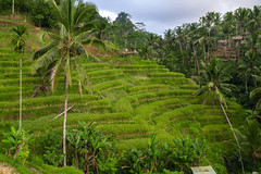 Rice Terraces - Ubud (SemiXposed) Tags: rice terraces bali ubud indonesia
