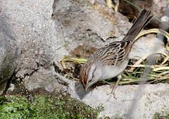 Rufous-winged Sparrow (Aimophila carpalis) ?; Catalina, AZ, Catalina Regional Park [Lou Feltz] (deserttoad) Tags: wildlife nature arizona tree desert plant bird wildbird sparrow cactus