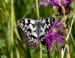 Marbled White (RobLesliePhotography) Tags: leica100400mm panasonicg9