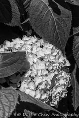 Cluster Flower (dustin.chew) Tags: fantasy flowers plants garden outdoor fairy leaf flora flower blooming shrub botanical floral lush hydrangea bud bloom fruit tree flowersplants