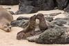 Sea Lion pups at play 500_3117.jpg (Mobile Lynn) Tags: sealion wild marinemammals galapagossealion nature fauna mammal mammals otariidae wildlife zalophuswollebaeki santafeisland galapagosislands ecuador ec specanimal