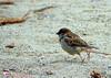 Jump :o) (jean-daniel david) Tags: oiseau nature plage sable moineau closeup saut jump bokeh yverdonlesbains brun