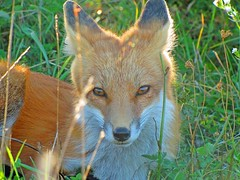 Faerie Fox (marylee.agnew) Tags: red fox vulpes nature solace peace comfort outdoor sun warm summer grass light