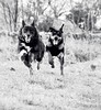 Ready...steady...GO! xx (shona.2) Tags: scotland bw mono blackandwhite speed race jumping running alsatian collie puppy rottweiler dogs pet