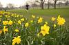 """Runner on the Rye"" (Adam Swaine) Tags: spring peckhamrye flora flowers yellow joggers seasons england english british britain londonparks nature naturelovers petals thebestyellow"