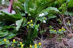 Nature in March (Sockenhummel) Tags: botanischergarten botanischergartenberlin märzenbecher winterlinge fuji xt10 spring frühling marchcups