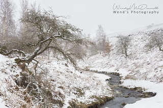 A little hawthorn tree hanging on through a harsh winter here in Swaledale, Yorkshire Dales