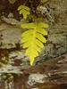 Polypodium vulgare (Jörg Paul Kaspari) Tags: diecalmonttour wanderung vorfrühling calmont farn fern tüpfelfarn polypodium vulgare blatt leaf