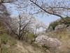 18o7918 (kimagurenote) Tags: 桜 sakura cherry blossom prunus cerasus flower tree 多摩森林科学園 tamaforestsciencegarden 東京都八王子市 hachiojitokyo