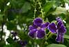 Xcambocoché (A. K. Hombre) Tags: xcambocoché durantaerecta macro plant flowers flores flora fleur purple dof depthoffield skyflower shrub garden flower