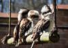 3 Kookaburra (littlestschnauzer) Tags: kookaburra laugh 3 three nature birds york huby centre prey uk enclosure swing 2018 spring family poi tourist attraction