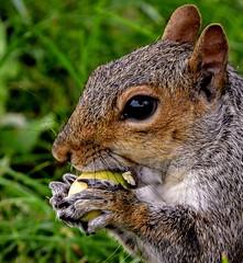 Acorn delight. (Explored 8.4.18.) (pitkin9) Tags: animal greysquirrel acorn