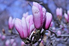 Cylburn Arboretum ~ Magnolia closeup (karma (Karen)) Tags: baltimore maryland cylburnarboretum parks magnoliablossoms texture dof bokeh htt hbw topf25 cmwd