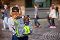 The Stowaway Part 3 (Ian Sane) Tags: petsfit backpack frenchbulldog ian sane images thestowawaypart3 woman bokeh wednesday old town portland oregon ankeny plaza saturday market candid street photography 1st avenue dog canon eos 5ds r camera ef70200mm f28l is usm lens