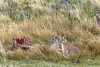 Puma cubs at a guanaco kill (tmeallen) Tags: pumas kittens cubs pumaconcolorpatagonia driedgrasses twocubs bigcats felines guanaco carcass prey patagonia torresdelpaine chile