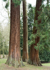 20180322-13_Coombe Abbey Country Park - Tall Redwoods (gary.hadden) Tags: coombeabbey coombepark coventry warwickshire countrypark rambling countrywalking arboretum redwoods trees bark
