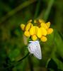 Tail Hanger (Portraying Life, LLC) Tags: michigan unitedstates closecrop nativelighting pentax k1 da30040 hd14tc butterfly meadow