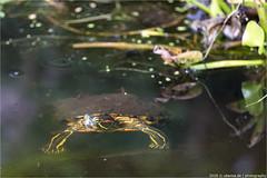 _turtle (l--o-o--kin thru) Tags: blüten garten weis white green pond teich schildkröte turtle