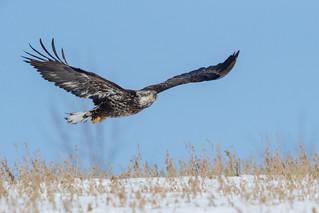 Blad Eagle Juvenile