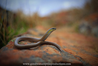 portrait: Striped Legless Lizard
