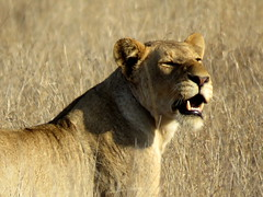 Leeuwyfie / Lioness (Bruwer Burger.) Tags: lioness leeuwyfie coth5 ngc
