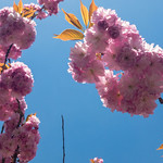 Beautiful cherry blossoms in front of blue sky thumbnail