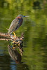 Green On Green (ac4photos.) Tags: heron greenheron marsh wetlands nature wildlife bird animal florida naturephotography wildlifephotography birdphotography animalphotography reflection green nikon d500 tamron150600mm ac4photos ac