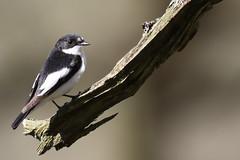 Pied Flycatcher (Edwyn Anderton) Tags: piedflycatcher flycatcher peakdistrict padleygorge padley longshaw longshawestate