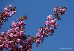 Bloesem (ditmaliepaard) Tags: boom trees bloesem lente spring blauwelucht