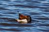 Tafeleend - Comon Pochard - Aythya Ferina (Gerald Schuring) Tags: schiermonnikoog vogel vogels watervogel geraldschuring gerald schuring wad