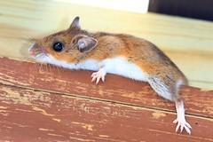 deer mouse (North American) - (Peromyscus maniculatus) at Ludwig Preserve IA 854A1419 (lreis_naturalist) Tags: deer mouse north american peromyscus maniculatus ludwig preserve winneshiek county iowa larry reis