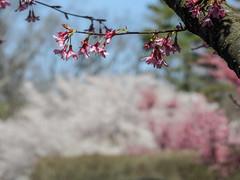 """""""Spring A Blooming""""; Roslyn, New York (hogophotoNY) Tags: hogophoto roslyn newyork unitedstates us pink white spring spring2018 2018 18 longisland longislandny nystate newyorkstate museum usa roslynny nassaucounty nassaucountyny tree nikon p900 nikonp900"""