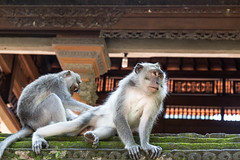 Monkey grooming (Monika Kalczuga (on&off)) Tags: monkey animal wildanimal ubud asia bali indonesia grooming forest sancuary temple