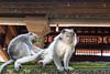 Monkey grooming (Monika Kalczuga (on&off)) Tags: monkey animal wildanimal ubud asia bali indonesia grooming forest sancuary temple