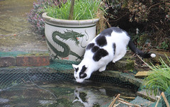 Who are you? (jpotto) Tags: uk derbyshire cat animal milkybar pond garden reflection