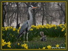 Heron,Squirrel and Daffs (maryimackins) Tags: heron squirrel daffoldils st james park wildlife london mary mackins