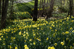 Magic of the woods (Irina1010) Tags: daffodils field flower yellow trees forest blooms spring 2018 nature landscape canon outstandingromanianphotographers ngc