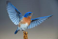 Halleluiah (Earl Reinink) Tags: bird songbird bluebird wings light animal easternbluebird happy earl reinink earlreinink nature photography niagara dizarahdoa