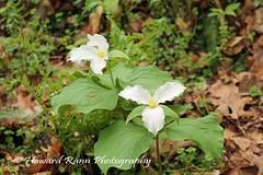 Longwood Gardens Spring 2017 (175) (Framemaker 2014) Tags: longwood gardens kennett square pennsylvania tulips united states america