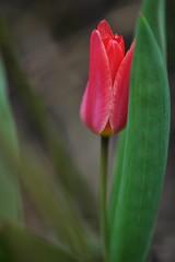 Sääskedest ja elevantidest (anuwintschalek) Tags: nikond90 85mm micronikkor austria wienerneustadt niederösterreich kevad frühling spring april 2018 kodu home aed garden garten tulp tulpe tulip