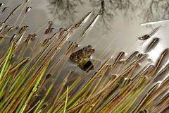 Toad крастава жаба _DSC0642 (Me now0) Tags: park spring afternoon micronikkor40mm macro europe nikond5300 никонд5300 макро юженпарк софиябългарияевропа toad краставажаба